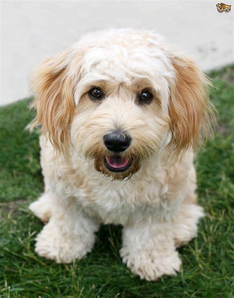 cavachon puppy cavachon size