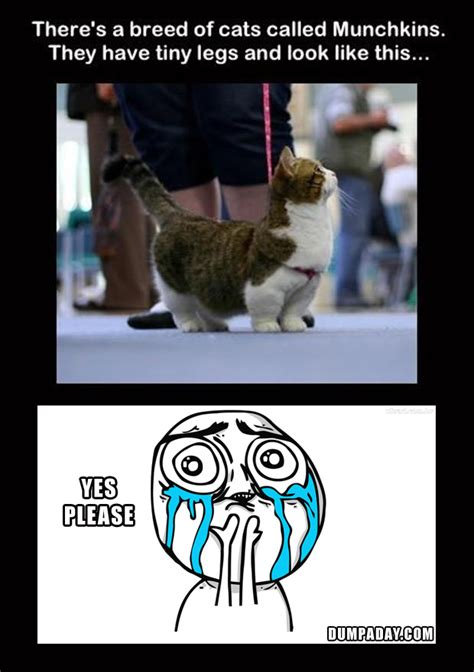 Funny Scottish Memes - munchkin cats funny pictures dump a day