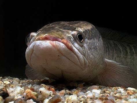 Pancing Ikan Gabus umpan mancing ikan gabus serba serbi