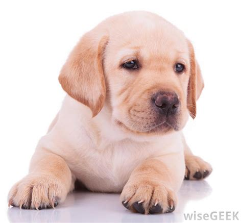 what of puppy do i how do i leash a puppy with pictures