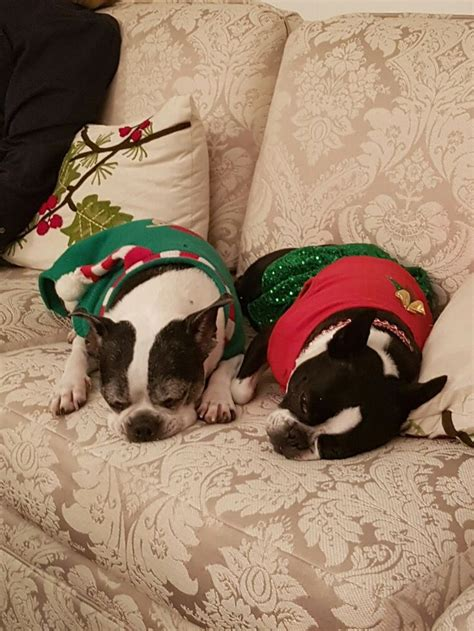 boston terrier puppies maryland 1000 ideas about boston terriers on terriers