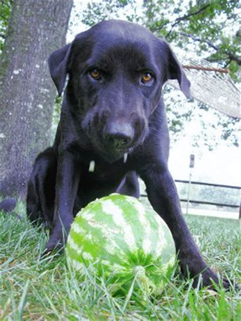 can dogs eat honeydew can dogs eat fruit