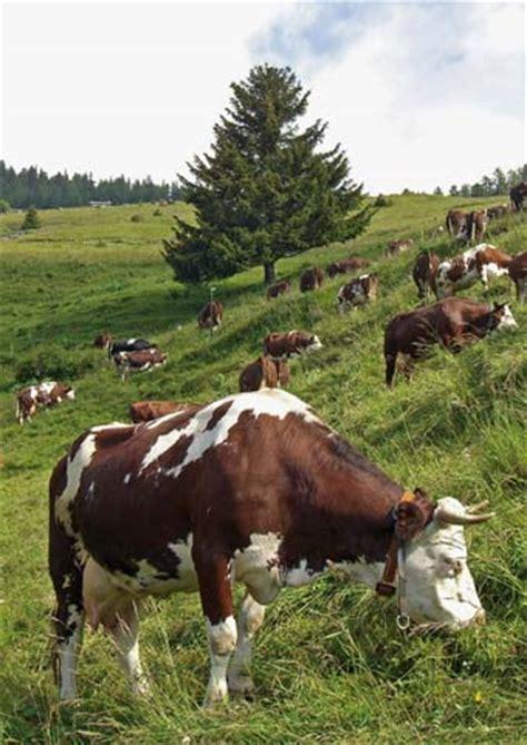razione alimentare bovini da latte l informatore agricolo l informateur agricole
