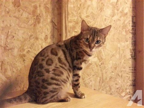 bengal house cat domestic white bengal cats www imgkid com the image kid has it