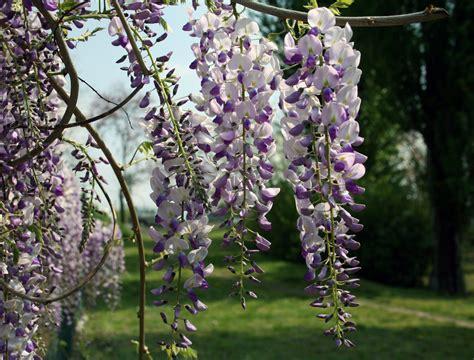 glicine fiori glicine i primi fiori foto immagini piante fiori e