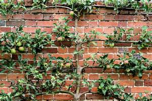 Grafted Dwarf Fruit Trees - espalier it only sounds ostentatious ohio gardener enewsletter