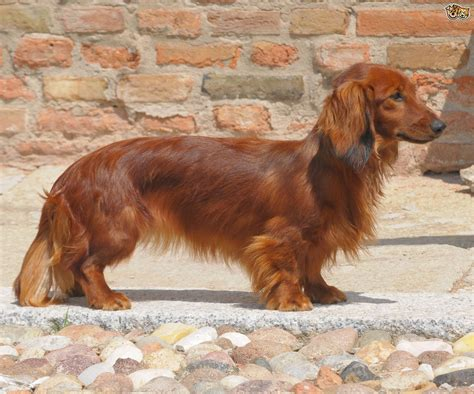 dachshund breed dachshund breed information buying advice photos and facts pets4homes