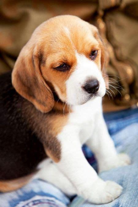 newborn beagle puppies best 25 beagle puppies ideas on beagle puppy pocket beagle puppies and