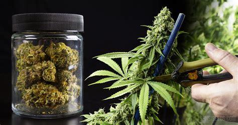 wann erntet cannabis cannabis ernte die wichtigsten schritte zum sicheren erfolg