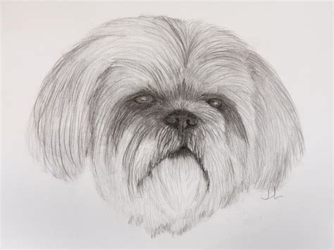 how to lhasa apso how to draw lhasa apso