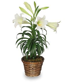 can easter lilies be planted outside plant care tips for potted easter lilies