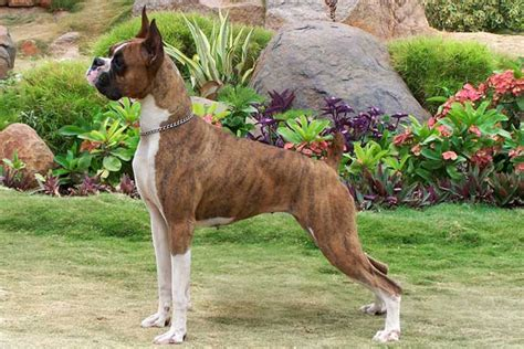 boxer puppies for sale boxer puppies for sale from reputable breeders