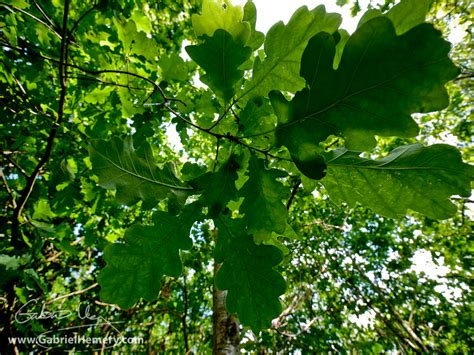 Canopy Of Leaves sun and shade leaves gabriel hemery