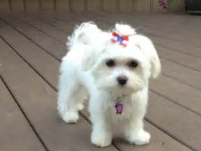 different maltese haircuts pictures maltese by valerie quot bella quot after her first haircut
