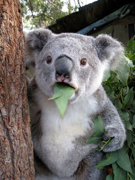 koala hängematte koala gum leaves eucalyptus leaves provide low