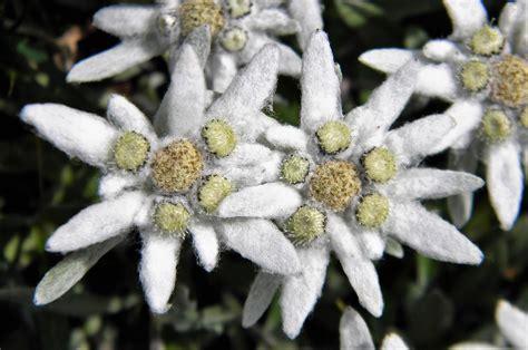 fiore stella alpina la stella alpina e il giglio di mare due fiori simbolo