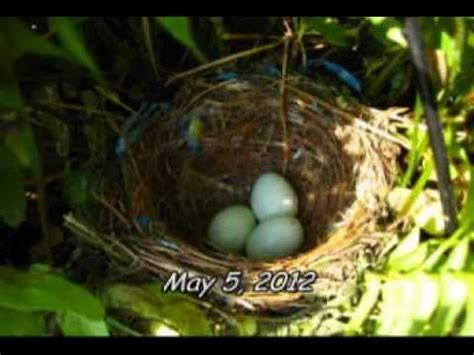 house finch life cycle life cycles a bird story youtube