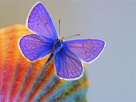 wallpaper of blue butterfly beautiful butterflies butterfly wallpaper nature color