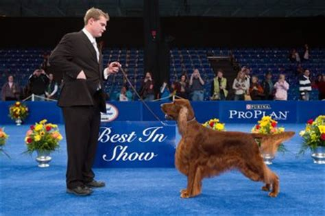 irish setter national dog show dog show rare breeds join yearly competition nj com