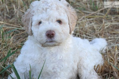 lagotto romagnolo puppies for sale winston lagotto romagnolo puppy for sale near nanaimo columbia