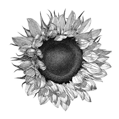 Home Decor Blogs 2014 by Single Sunflower Drawing By William Beauchamp