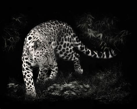 black and white leopard wallpaper leopard wallpaper black and white hd desktop wallpapers