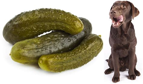 are pickles bad for dogs can dogs pickles a food safety guide by the happy puppy site
