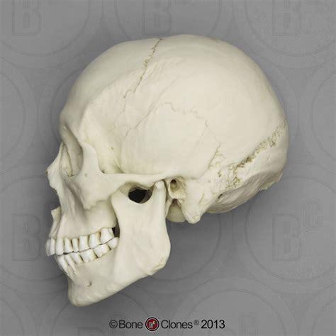 human male asian skull bone clones  osteological