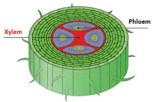 60 distribution of xylem and phloem in roots stems and leaves