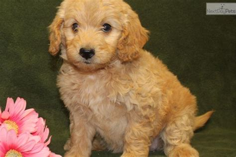 Goldendoodle Dogs For Sale Goldendoodles Puppies In Mo