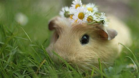 guinea pug 2015 quot pignic quot guinea pig festival costume contest veggie contest marin