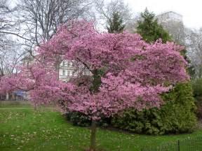 nursery plants how to flowering cherry tree