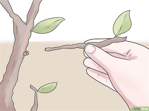 Birnbaum Schneiden by Einen Birnbaum Beschneiden Wikihow