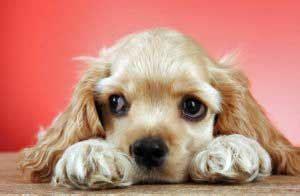 eye problems in dogs eye problems in cocker spaniels