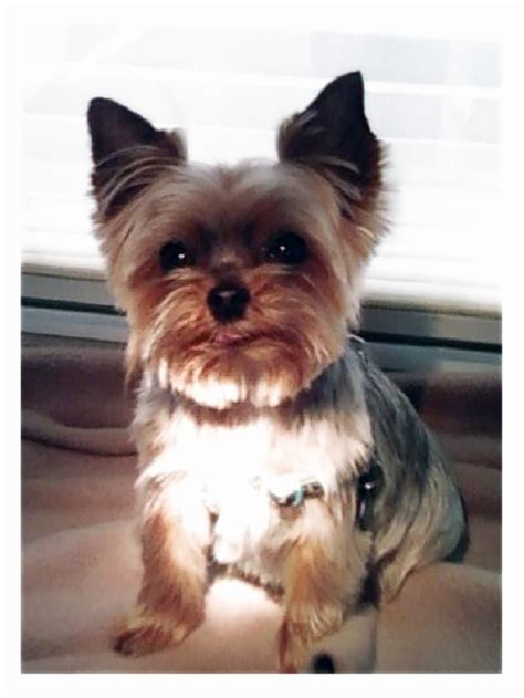 9 lb yorkie 17 best images about grooming pictures i like for my shih tzus and yorkie on