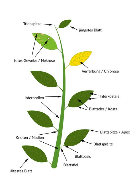 Beschriftung Kartoffelpflanze by Bestimmungsmerkmale Von Pflanzen