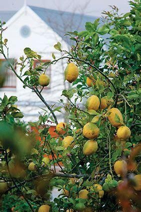 patio lemon tree 1000 ideas about lemon tree potted on patio