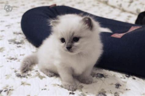 allevamento gatti ragdoll bluqueen allevamento gatti