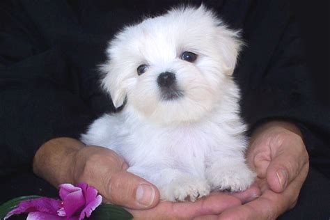 images of maltese puppies maltese puppies pictures from always litle pups
