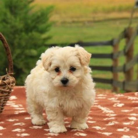 puppy litters for sale maltipoo puppy litters for sale in hoobly classifieds