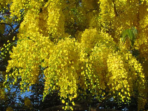 yellow flowering trees a gallery on flickr