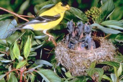 do finch birds eat thistle seeds whole