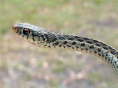 Garter Snake Lighting Requirements Eastern Garter Snake The Garter Snake Is A Distinctive