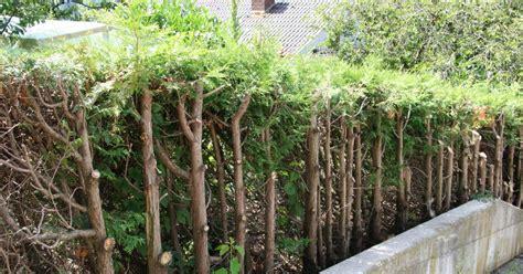 thuja wann schneiden lebensbaum und scheinzypresse r 252 ckschnitt mein sch 246 ner