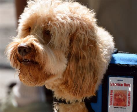 what are service dogs used for service certificates being used so owners can take pets to restaurants