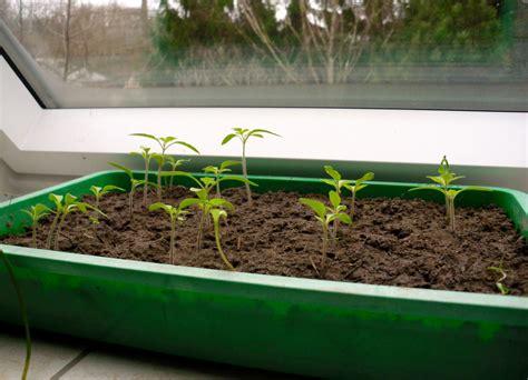 Tomaten Aus Samen Selber Ziehen 5495 by Tomaten Selber Auss 228 En Bzw Ziehen Zeitpunkt