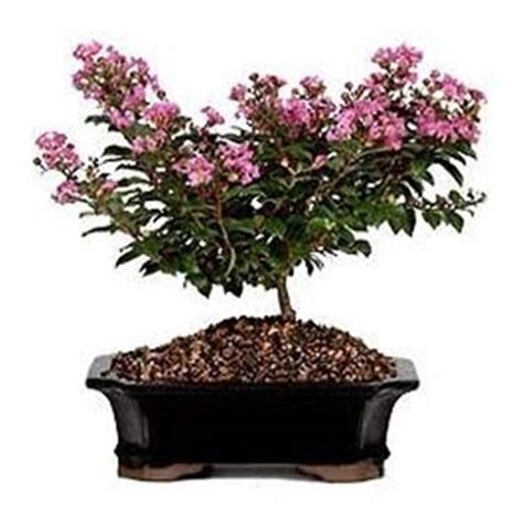mirto in vaso bonsai mirto bonsai