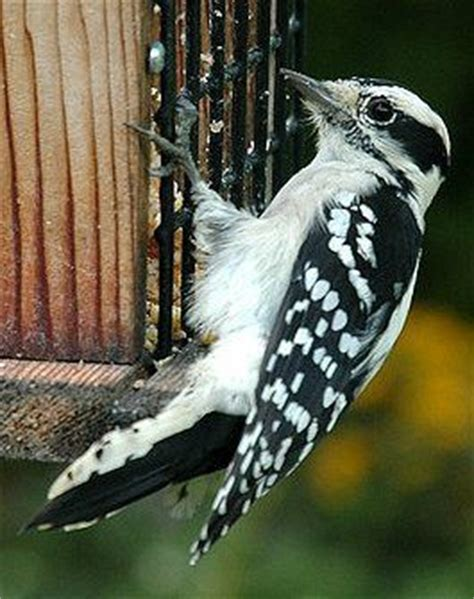 east tips to attract woodpeckers to your backyard