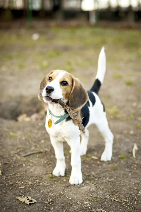 Bagelen Mix information about the fiery and loyal beagle