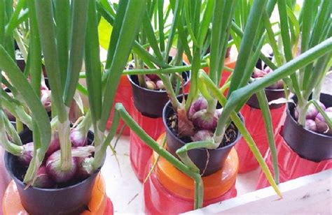 cara membuat pupuk zpt dari bawang merah cara menanam bawang merah hidroponic urbanina